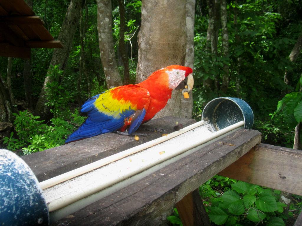 Den röda aran är Honduras nationalfågel och den lever fritt här bland ruinerna i Copan. The scarlet macaw is the national bird of Honduras and they live freely here among the ruins in Copan.